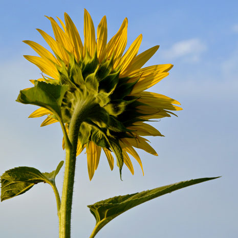 sunflower1